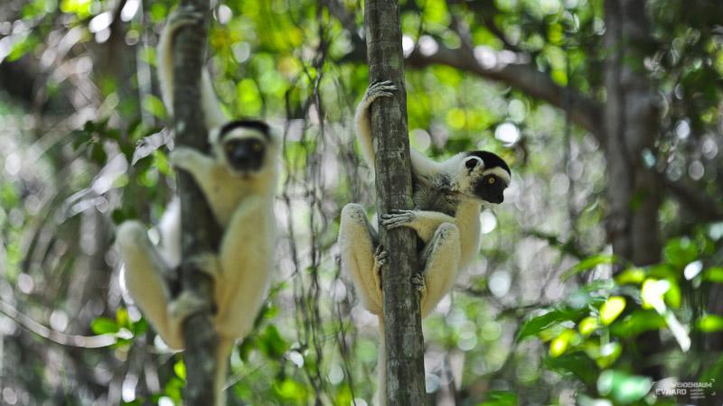Lémuriens du Makay